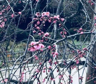 plum blossoms 2018